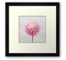 Pastel Pink Dahlia In Full Bloom Framed Print