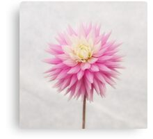 Pastel Pink Dahlia In Full Bloom Canvas Print