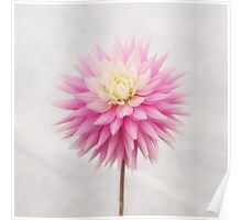 Pastel Pink Dahlia In Full Bloom Poster