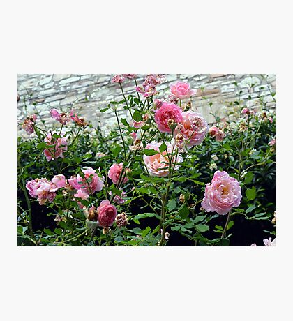 Pink gentle roses in the garden Photographic Print