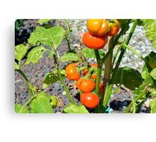 Tomatoes growing in the garden Canvas Print