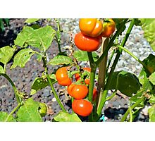 Tomatoes growing in the garden Photographic Print