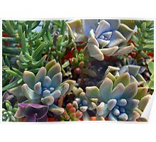 Beautiful succulents in the garden Poster