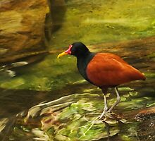 Wattled Jacana by SRowe Art