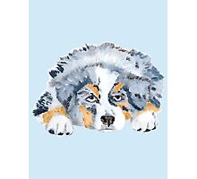 Australian Shepherd Blue Merle Puppy Photographic Print