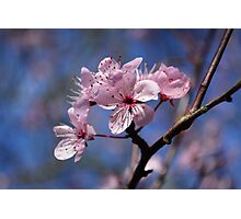 Cherry Blossom Spring Floral Print Photographic Print
