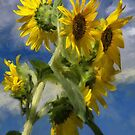 Sunflowers In The Sun by Lois  Bryan