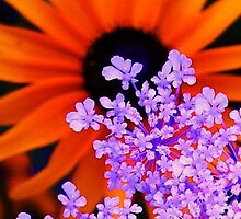 Orange Lavender Flowers by schiabor