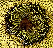 Textures of a Sunflower by John Thurgood