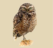 American Burrowing Owl by Dave  Knowles