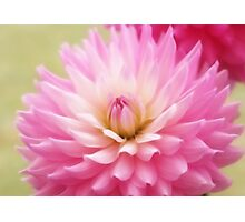 Soft Pink Dahlia Photographic Print