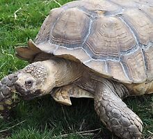 Sulcata Tortoise by Lee Eyre