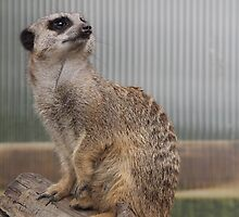 Meerkat 1 by Lee Eyre