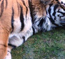 Sleeping Tiger Sticker