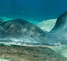 Sting Ray by Michael Wicks