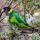 Australian Ringneck Parrot by Rick Playle