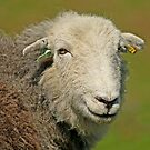 Herdwick Sheep by Liz Lane
