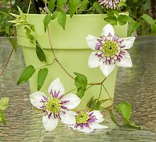 Clematis Sieboldii by Marilyn Cornwell