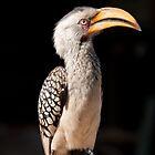 Southern Yellow-billed Hornbill, South Africa by Erik Schlogl