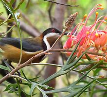 Eastern Spinebill amongst Grevillea by Marilyn Harris