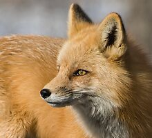 Fox portrait by Eivor Kuchta
