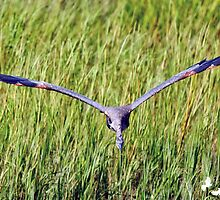 A_GREAT BLUE COMING AT ME by TJ Baccari Photography