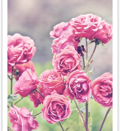 Plant Me Pink Roses Sticker