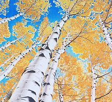 Colorado Aspens by Vknoll