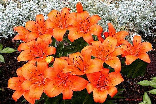 Orange Lilies in My Garden by SummerJade