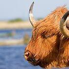 Highland Cattle in Oare Marshes, Kent by MrBennettKent