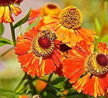 Helenium + Bee by John Thurgood