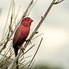 Crimson Finch by Julia Harwood