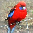 *Crimson Rosella - Dandenong Ranges, Vic. Aust.* by EdsMum