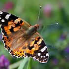 Painted Lady by Jo Nijenhuis