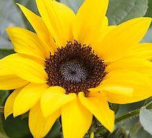 sunflower by spetenfia