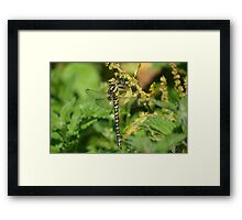 Golden Ringed Dragonfly at Gwithian Nature Reserve in Cornwall Framed Print