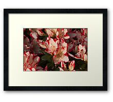 hydrangea bloom Framed Print