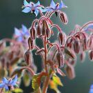 Borage flowers by turniptowers