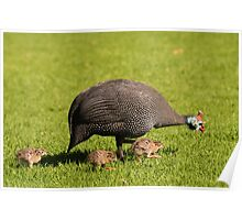 Guineafowl, South Africa Poster
