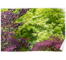 maple in spring Poster