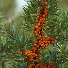 Sea Buckthorn Berries by karina5
