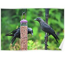 Young jackdaws on bird feeder Poster