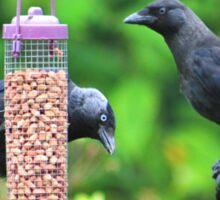 Young jackdaws on bird feeder Sticker