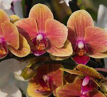 orchid in bloom by spetenfia