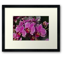 orchid in bloom Framed Print