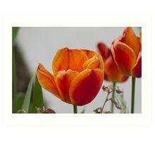 tulip in spring Art Print