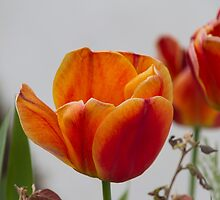 tulip in spring by spetenfia