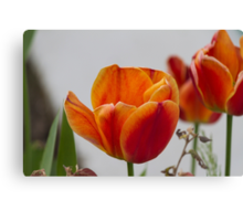 tulip in spring Canvas Print