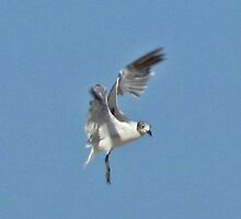 """Single Gull in the Air by Scott """"Bubba"""" Brookshire"""