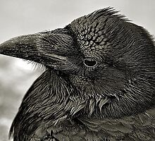 Crow by Bob Wall